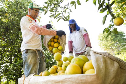 Orangenpflücker auf einer Fairtrade-Kooperative in Brasilien.