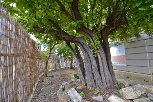 Basilea, einer der ältesten Quittenbäume der Schweiz mit gegen 150 Jahren steht mitten in der Stadt Basel im Gundeliquartier.