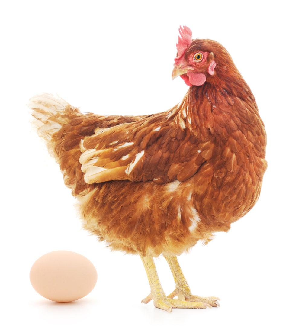 """Einseitige Zucht auf höchste Eierleistung hat Schattenseiten: Die Männchen sind """"nutzlos"""". (Bild: obs/Zürcher Tierschutz/© Anatolii - stock.adobe.com)"""